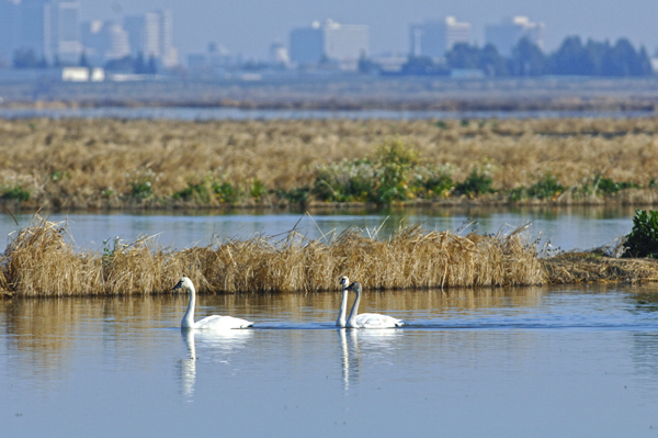 Male and Female Tundra Swans Against a Cityscape